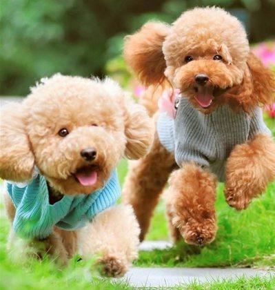 Tính cách nhẹ nhàng của những chú chó poodle giúp bạn gần gữi hơn với chúng