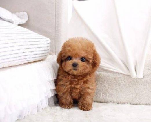 Cách chọn mua chó poodle thông minh và mạnh khỏe