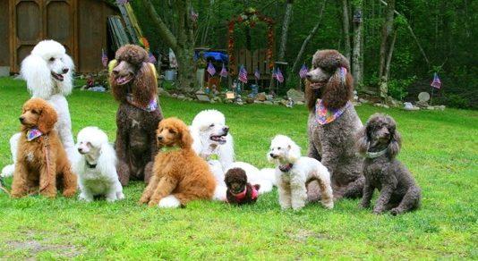 Tổng quan những kiểu dáng và các bộ kích thức cơ thể những chú chó Poodle