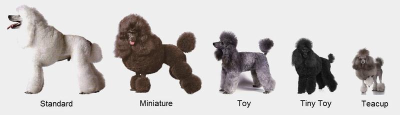 Các loại chó Poodle đang phổ biến hiện nay