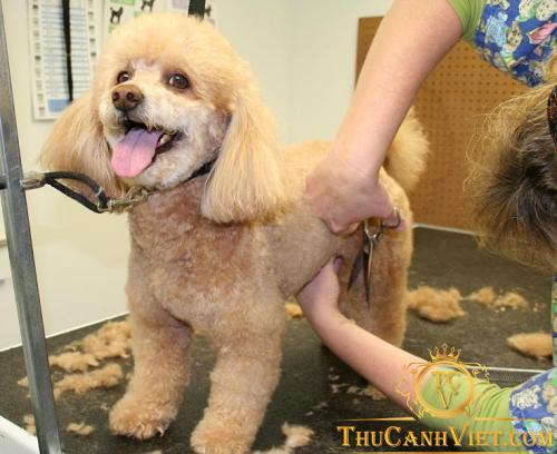Những cách vệ sinh và cắt tỉa lông cho poodle