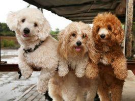 Giới thiệu về giống chó Poodle và những kiến thức cần thiết trước khi nuôi chó cảnh