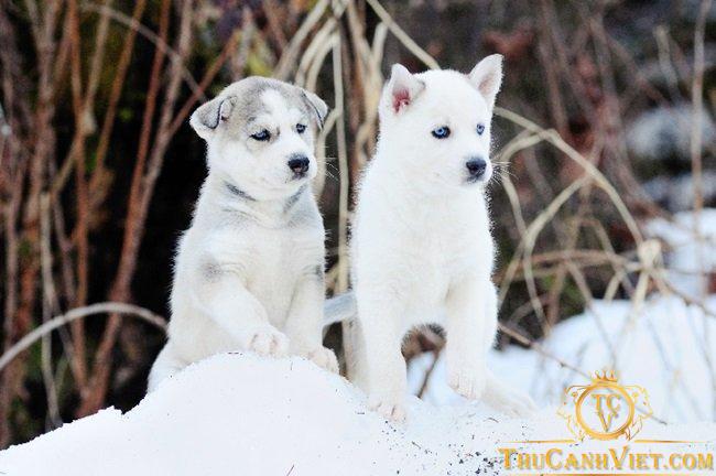 Nguồn gốc xuất xứ chó Husky