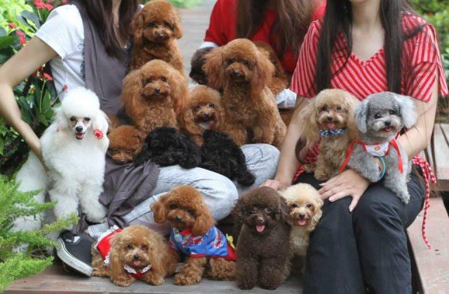 Những chú chó Poodle cực xinh với nhiều màu sắc khác nhau