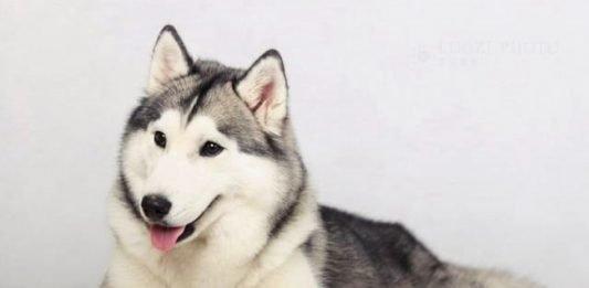 Tìm hiểu về chó Husky