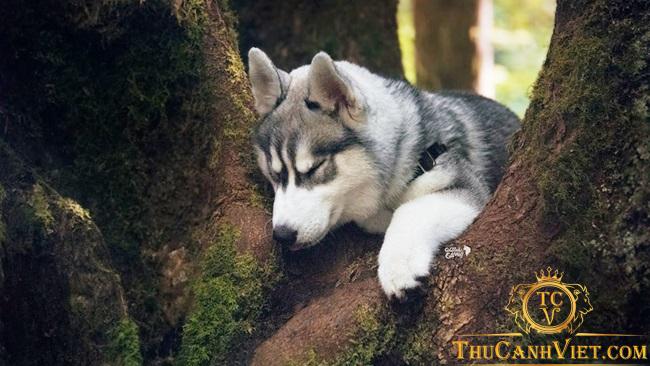 Các bệnh chó Husky thường mắc phải