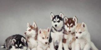 Các màu lông chó Husky