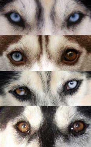 Các màu mắt của chó Husky