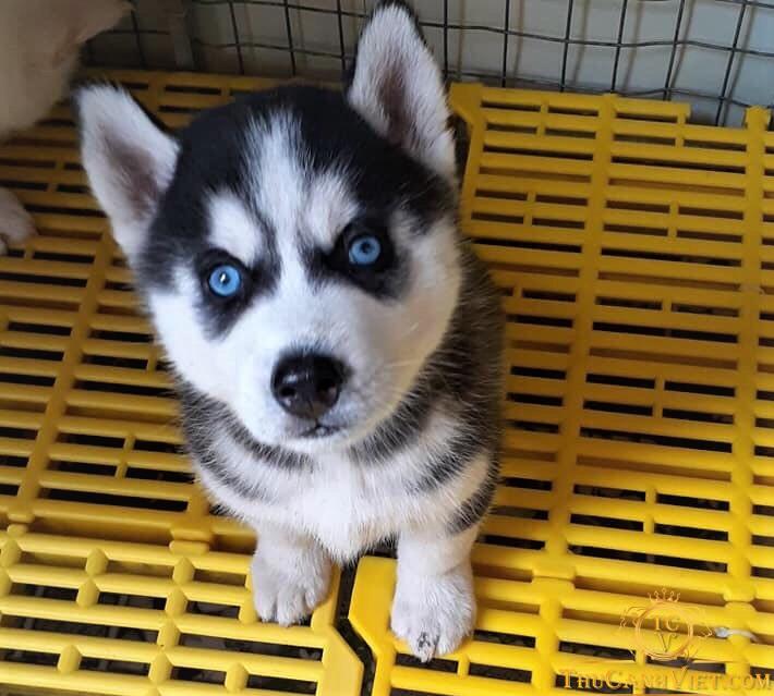 Khuôn mặt ngộ nghĩnh biểu cảm ngáo ngơ vô cùng đáng yêu của Husky Sibir
