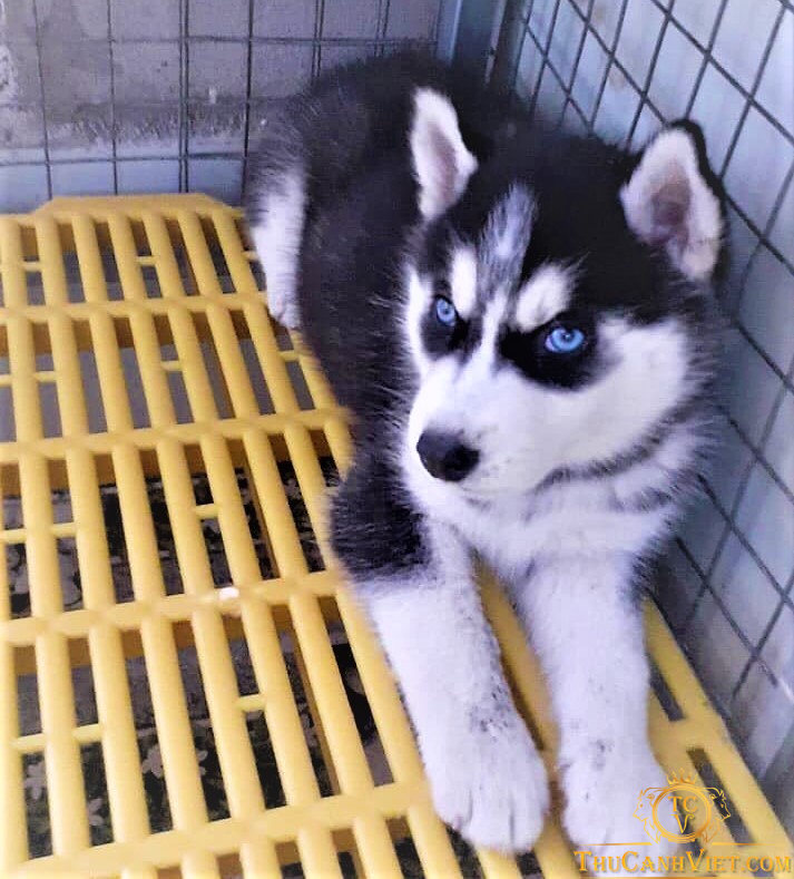 Chó husky Sibir mắt xanh sát thủ đang suy tư cuộc đời