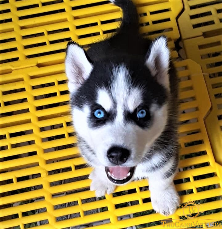 Chó husky mắt xanh ngọc cực đẹp