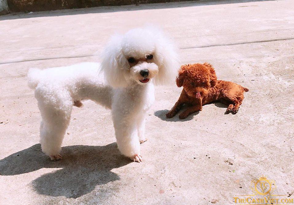 Chó poodle trắng đực và cún poodle nâu đỏ thả mình trong nắng