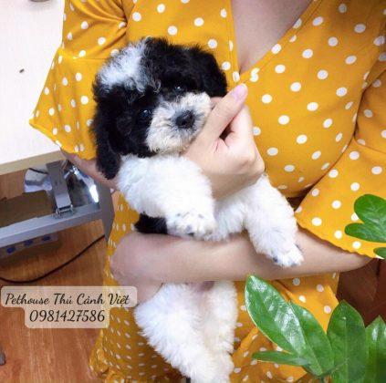 Chó poodle màu bò sữa kế bên cô chủ thân thương