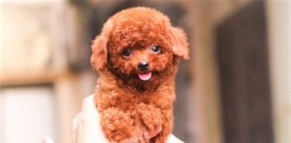 Mẫu chó Poodle nâu đỏ size tiny cực xinh kute