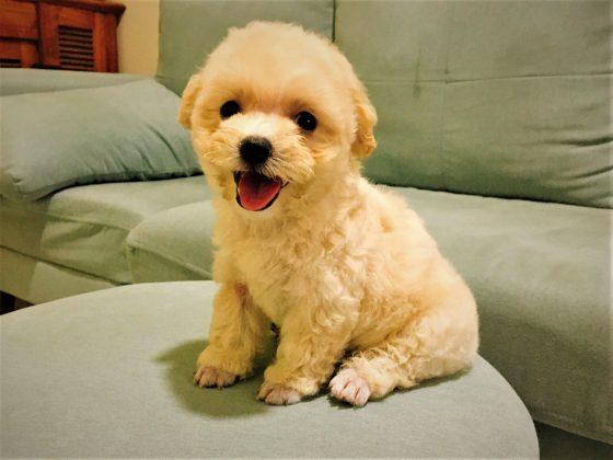 Chú cún poodle tiny màu vàng mơ cực xinh