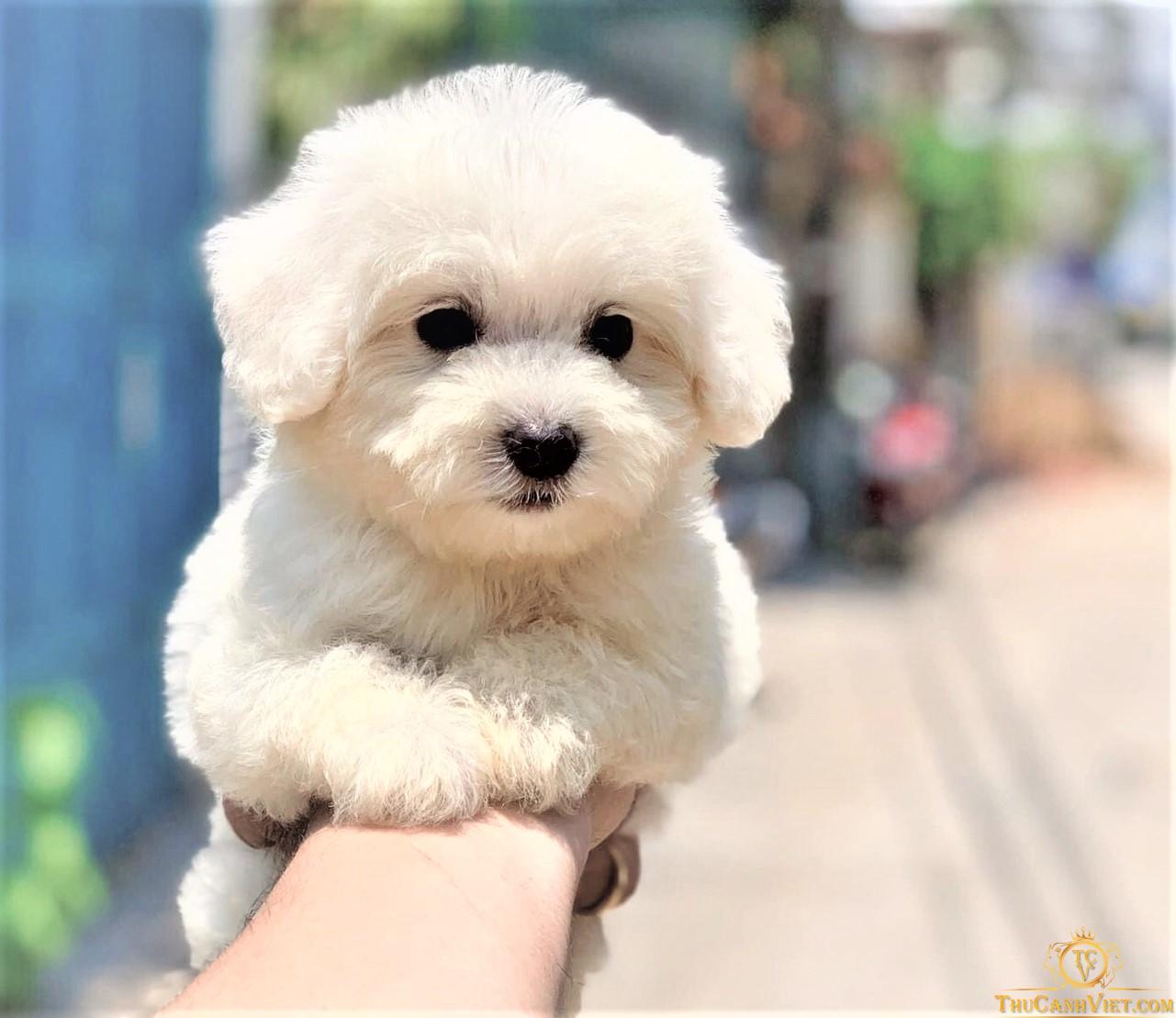 Chó poodle trắng size tiny cực đẹp