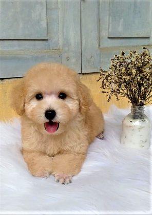 Chú chó poodle vàng mơ sở hữu khuôn mặt rạng ngời