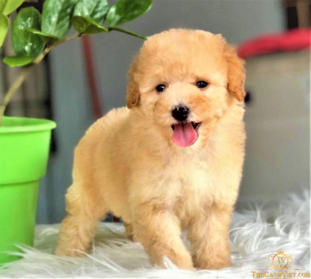 Chó poodle màu vàng mơ 2 tháng tuổi size tiny