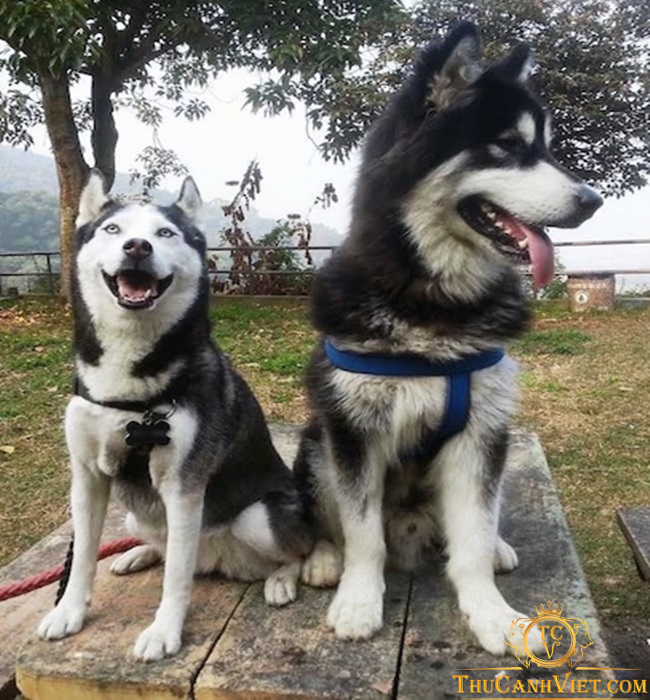 Chó Husky có hình thể bé hơn Alaska