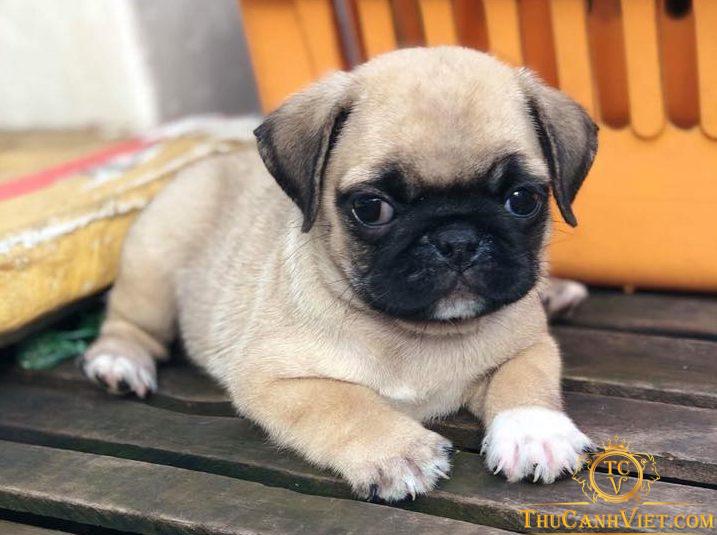 Bộ mặt đáng yêu của chú chó pug mặt xệ 2 tháng tuổi