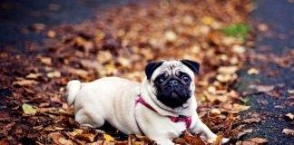 Cách chăm nuôi chó Pug khỏe mạnh và thông minh
