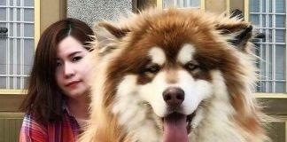 chó alaska khổng lồ giá bao nhiêu
