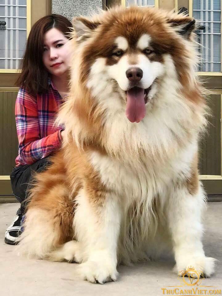 chó alaska khổng lồ (chó alaska Giant) bên cạnh chủ nhân xinh đẹp