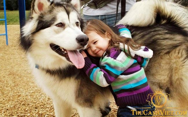 Chó Alaska rất yêu trẻ con