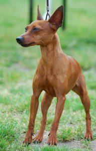 Chó Phốc Hươu - Toàn cảnh về giống chó này