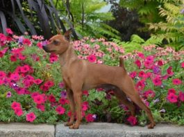 Chó phốc thuần chủng