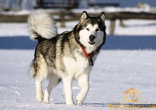 Đặc điểm hình dáng chó Alaska