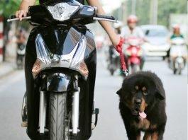 Dắt chó ra đường không đeo rọ mõm sẽ bị phạt nặng