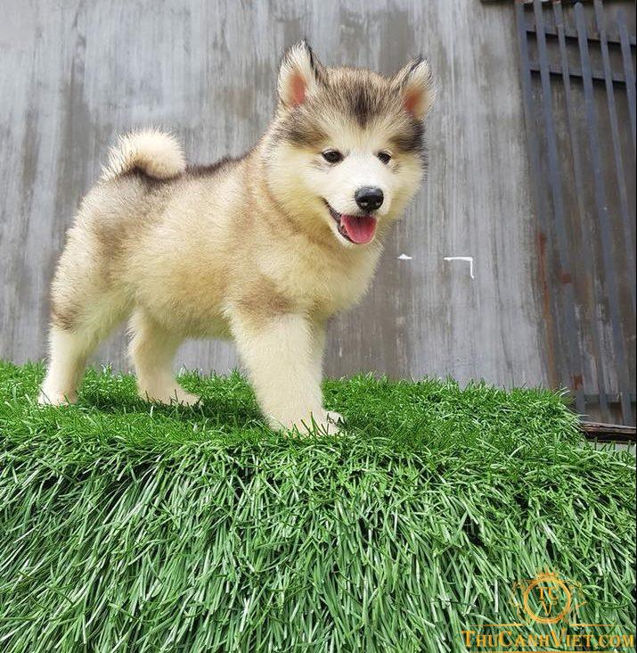 Giá chó alaska 2-3 tháng tuổi đang được bán tại thucanhviet.com
