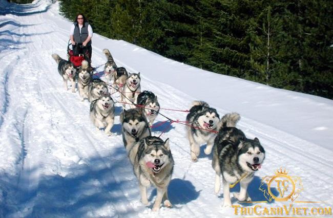 Chó Alaska là một trong những giống chó kéo xe tại vùng đất Alaska