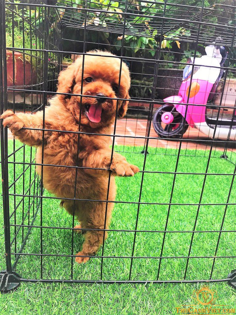 Poodle nâu đỏ với dáng đứng cực kute đã khiến nhiều người yêu mến