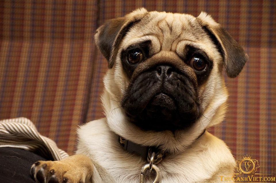 Pug dog - Những điểm nhận dạng dễ dàng của các chú chó mặt xệ
