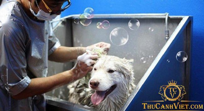 Chó Alaska cần được vệ sinh thường xuyên