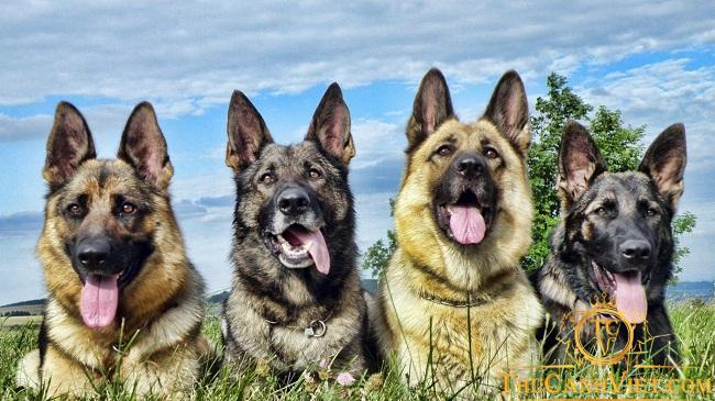 Chó becgie có nguồn gốc xuất xứ từ nước Đức