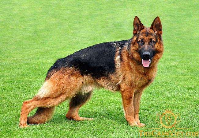 Giống chó becgie Đức