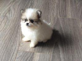 phốc sóc mini 2 tháng tuổi