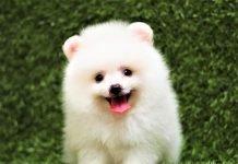 Pomeranian mini trắng mặt cực xinh