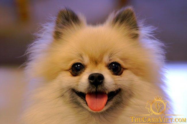 Khuôn mặt chó phốc sóc rất xinh xắn