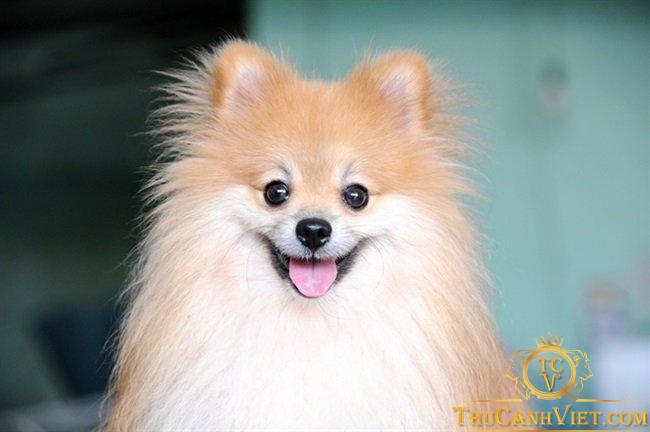 Cách chọn mua chó phốc sóc – Cục bông gòn di động đáng yêu