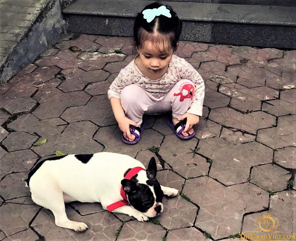 Cô chủ nhỏ và cậu bé bull pháp bò sữa 1 năm tuổi