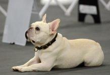 Đây là một chú chó bull pháp cực kute và dễ thương