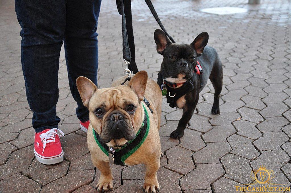 Đưa chó bull pháp đi dạo thường xuyên