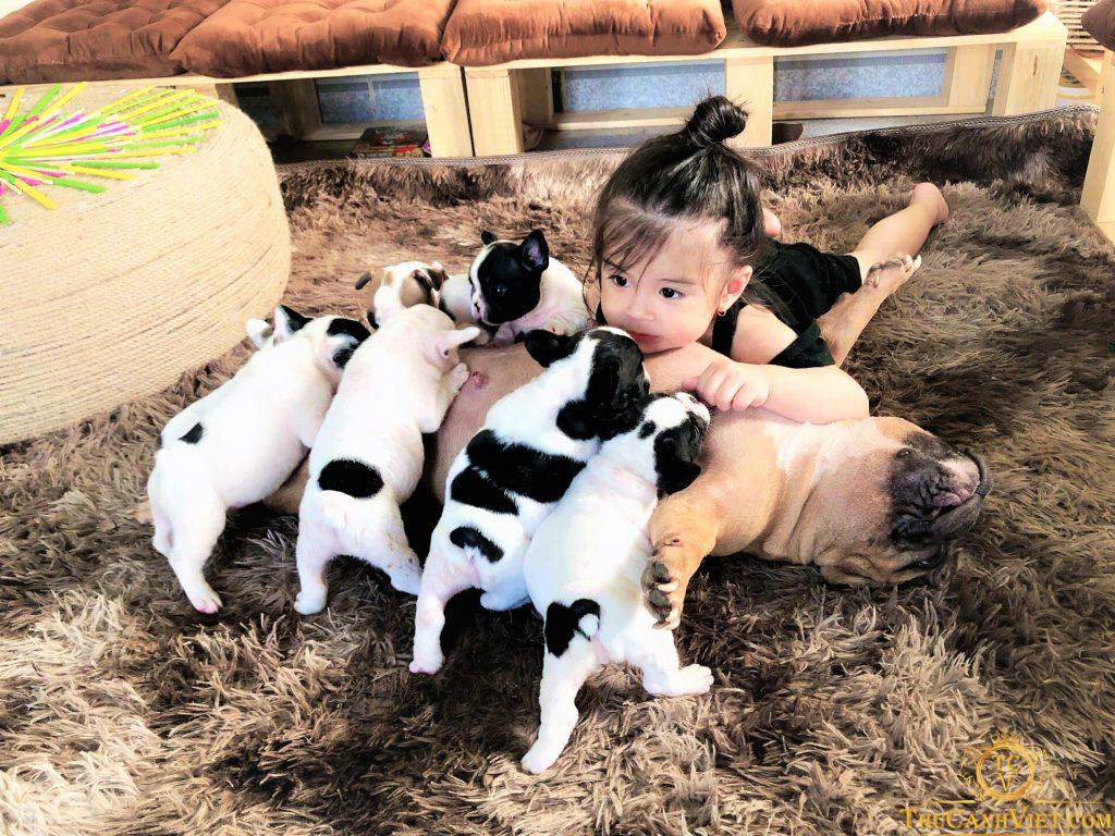 Em bé kute và bầy bull pháp bò sữa cực yêu