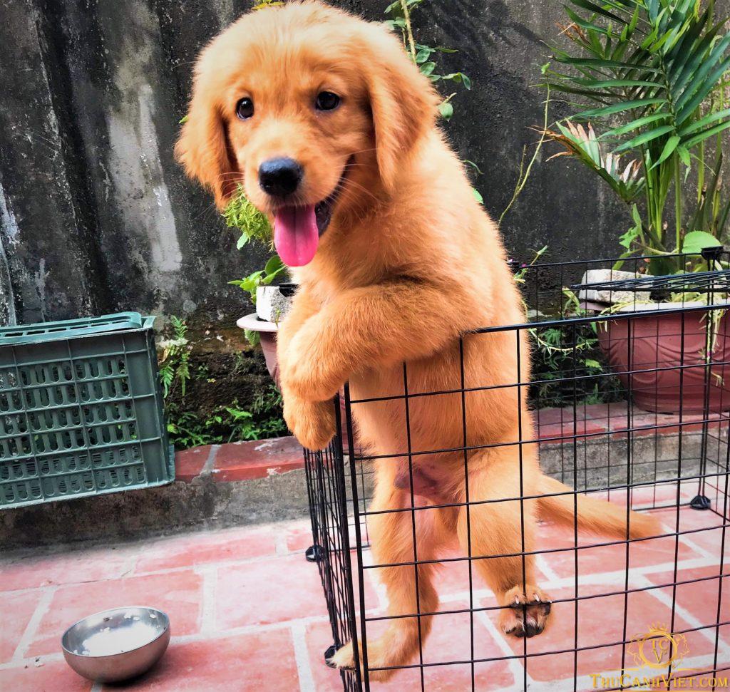 Chó golden vàng đậm 2 tháng tuổi siêu kute