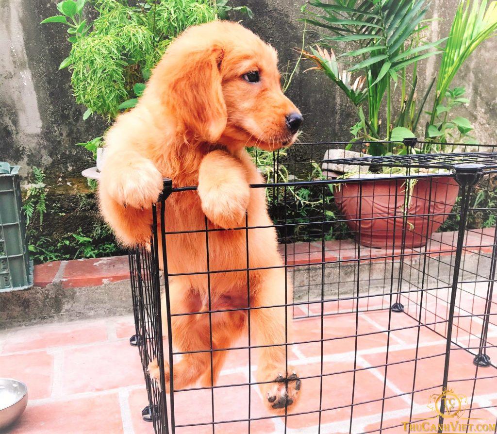 Ố vượt nhanh không Sen nó bắt được - Chó Golden đực 2 tháng tuổi vô cùng thông minh