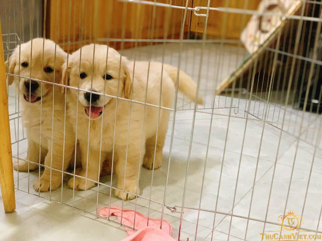 Giống chó golden con 2 tháng tuổi 1 đực 2 cái xuất chuồng tại trại nhân giống của chúng tôi